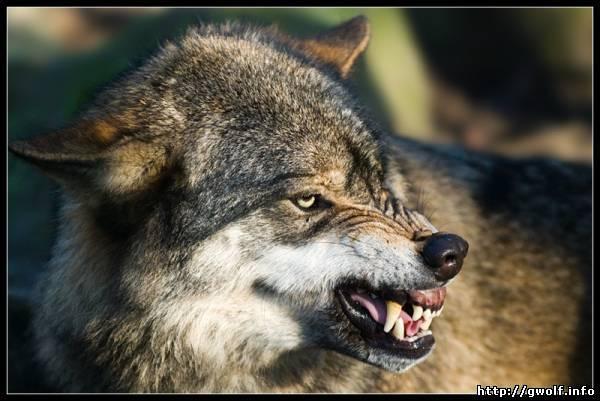 На село Загальна Користь в Николаевской области  напал…волк! Четверо в больнице