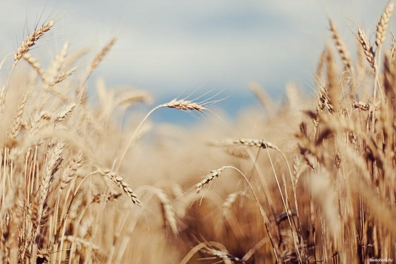 Украина – шестая в мире по экспорту пшеницы