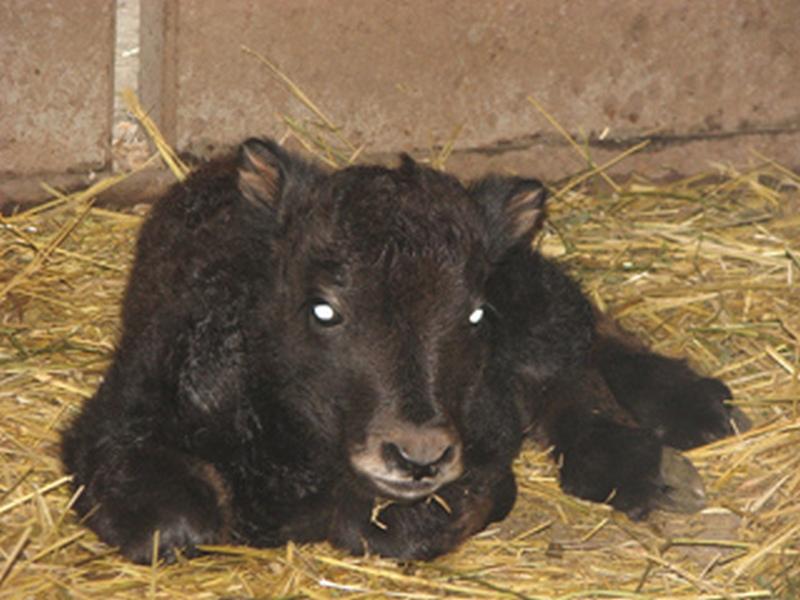Самый долгожданный, 16-й: в Николаевском зоопарке родился «хрюкающий бык»