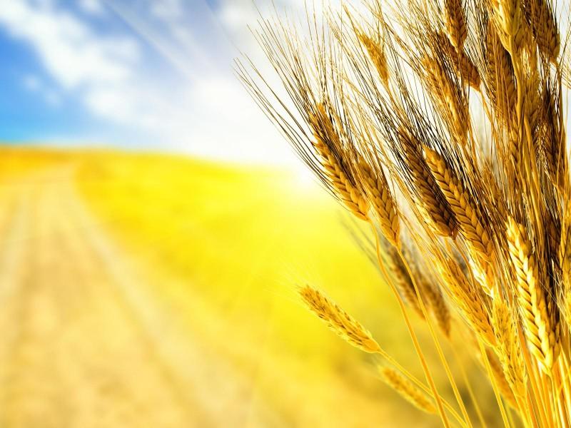 Главный украинский продукт – зерно, – значительно растет в цене на мировых рынках