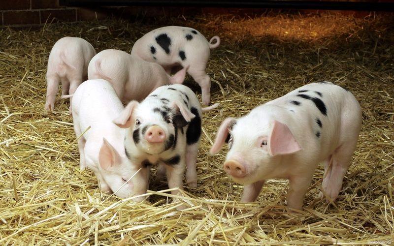Поросячья этика по-первомайски: работник фермы думал, что хозяин не заметит пропажи 4 поросят
