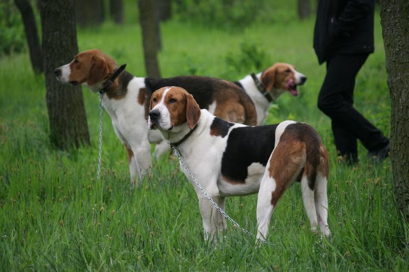Когда экстерьер – не все, но важно: в Николаеве прошла областная выставка охотничьих собак