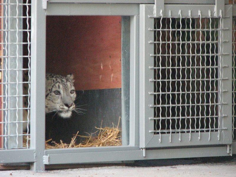 В Николаевский зоопарк приехала пара снежных барсов. Осталось только таможенный сбор заплатить
