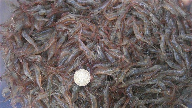 На Кинбурне браконьеры выловили более 50 тыс. экземпляров креветки (ФОТО)