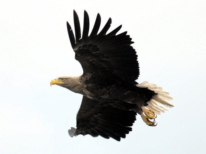 В США орлан сбил правительственный беспилотник