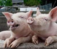 Производители свинины увеличили цены