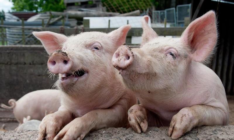 Производители свинины увеличили цены 1