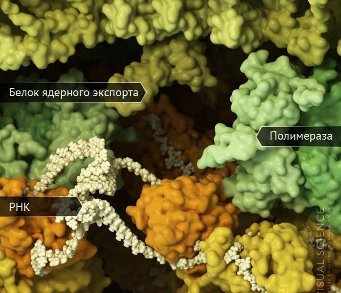 Наслаждайтесь: научно достоверная 3D-модель A/H1N1 с атомным разрешением