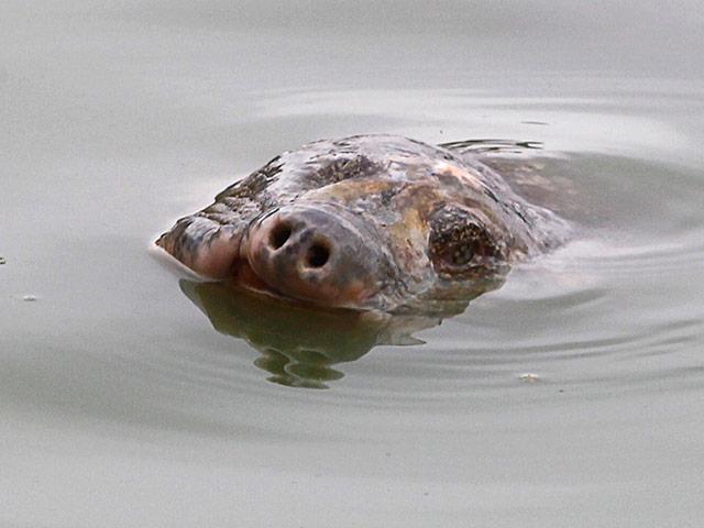 Во Вьетнаме умерла огромная священная черепаха