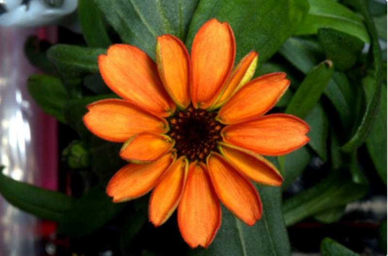 На Международной космической станции распустился первый в истории цветок