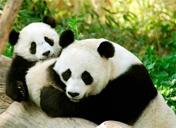 Число панд в заповедниках Китая увеличилось вдвое за 10 лет