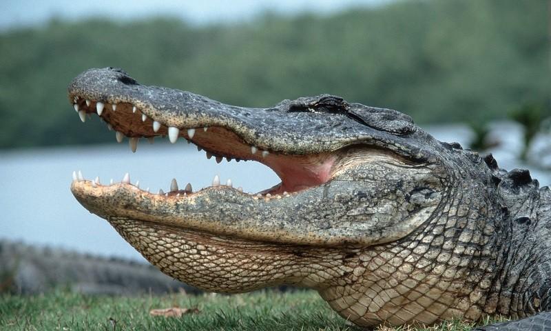 Из-за пропавшего в «Диснейленде» мальчика убили четырех аллигаторов