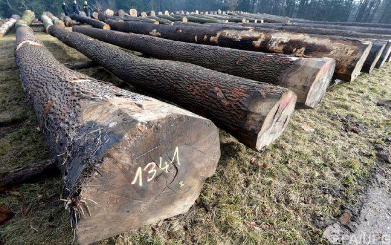 Фиктивная компания в Черниговской области вывезла из Украины древесины на 10 миллионов