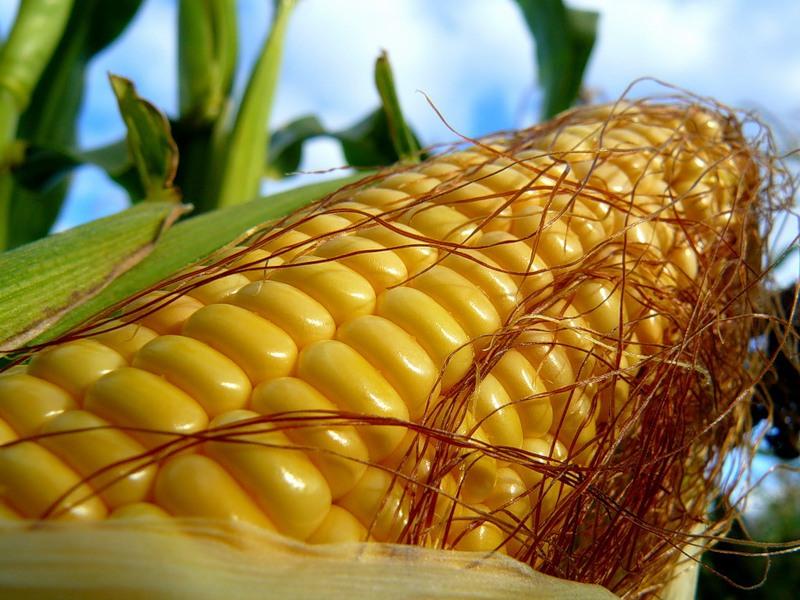 Фиктивное предприятие хотело экспортировать почти 10 тыс.тонн кукурузы, приобретенной за наличку, – николаевские таможенники и киевские фискалы помешали