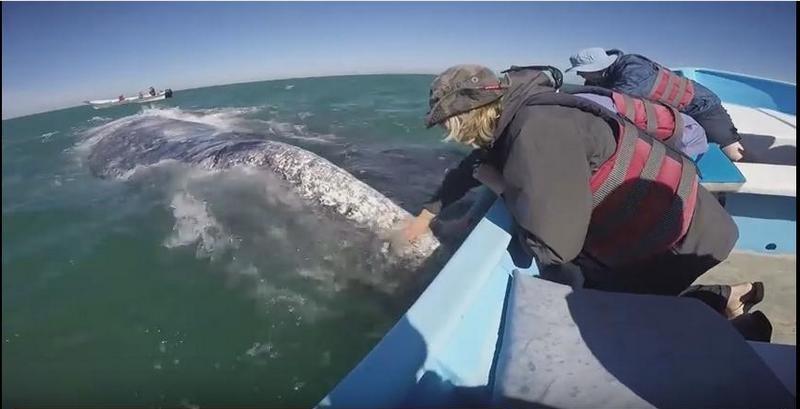 Мексиканские киты ластятся к туристам