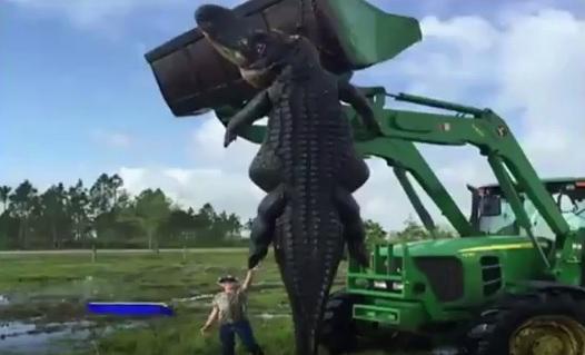 Во Флориде убили огромного аллигатора, который терроризировал фермеров