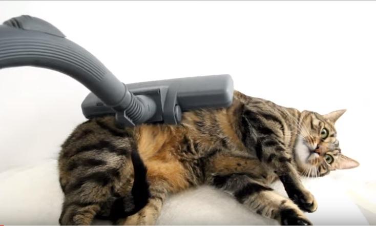 Нашлась кошка, которая не боится пылесоса и с удовольствием ложится под пылесосный массаж