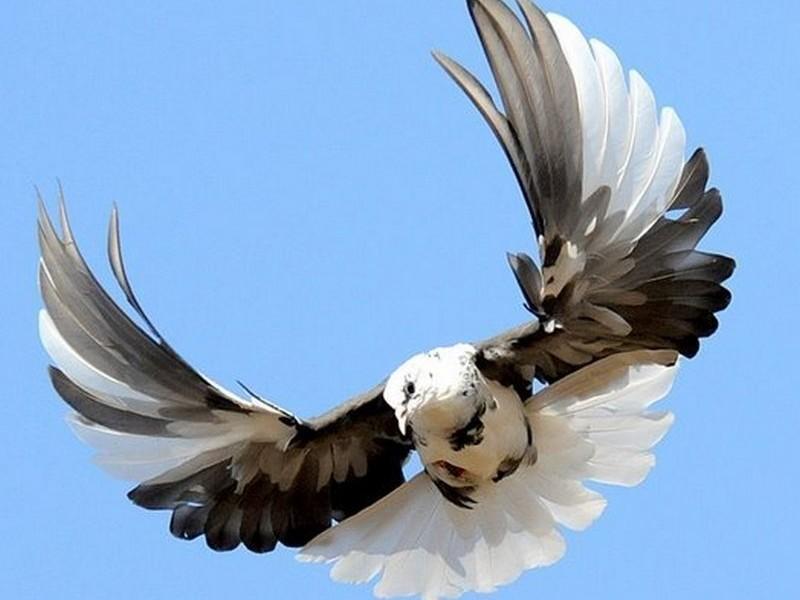 В Индии голубь три года провел в тюрьме