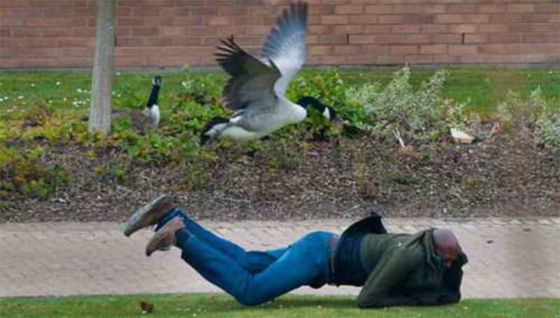 Гуси перегородили путь мужчине, чтобы снять своих птенцов с крыши