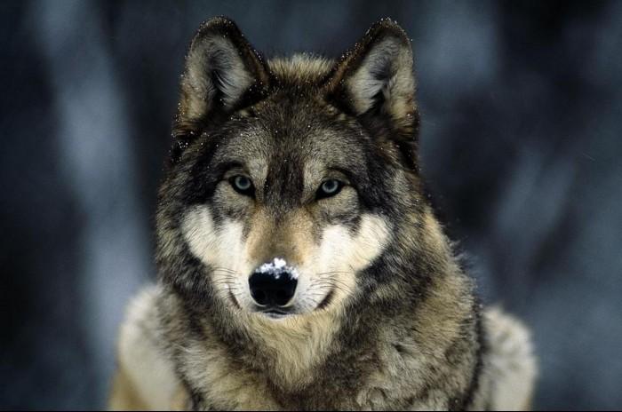 На Житомирщине одно из сел терроризируют волки