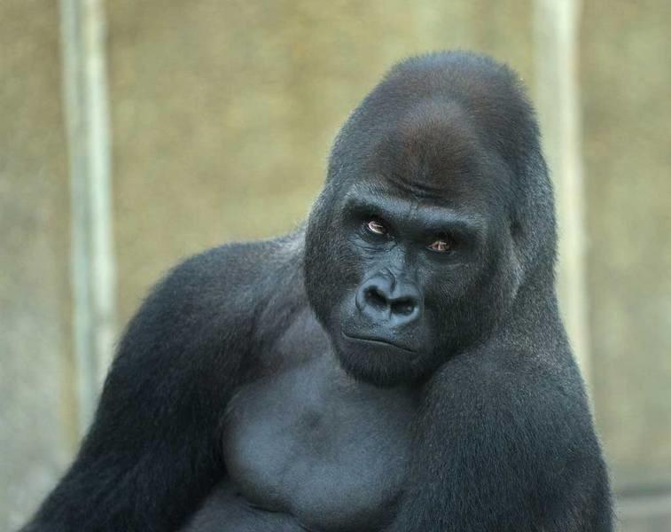 Самая старая горилла в мире отпраздновала 60-летие