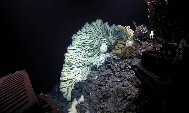 В Тихом океане обнаружили гигантскую губку