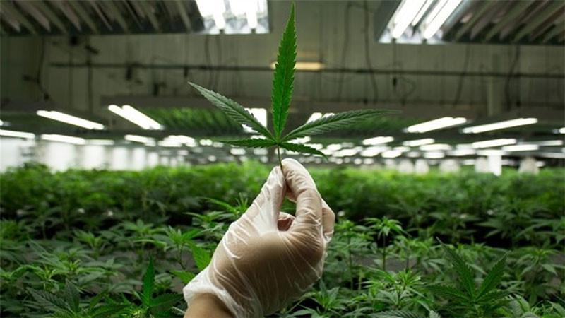 Поможет ли легализация марихуаны украинской экономике?