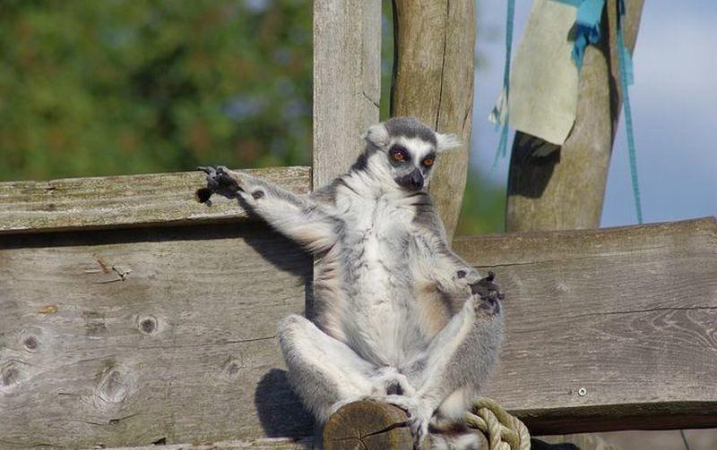 В Черкасском зоопарке похитили лемура