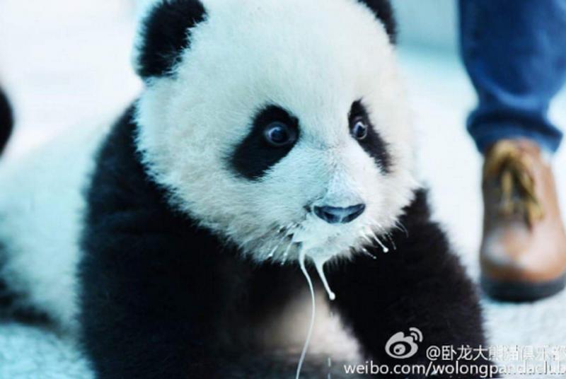 Панды-хулиганы: детеныши устроили погром в вольере