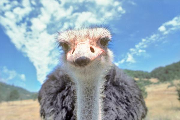 """""""А """"Динамо"""" бежит?"""": в Африке страус обогнал велосипедистов (ВИДЕО)"""