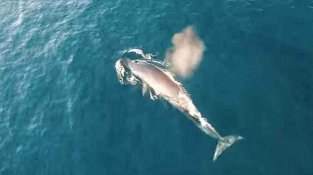 """Беспилотник """"поймал"""" в океане редких китов-полосатиков"""