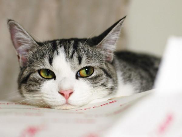 В Бельгии кошка заразилась коронавирусом от хозяина