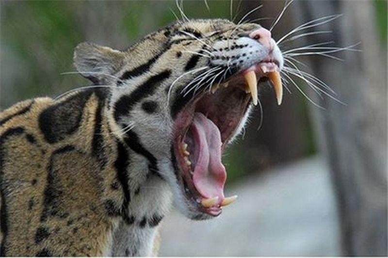 Леопард напал на индийскую деревню. Ранен ребенок и несколько взрослых