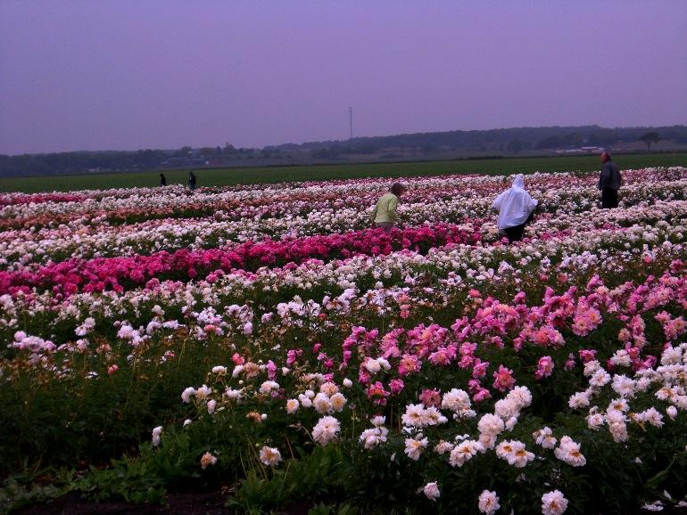 Украинцы на пионах зарабатывают по 30 тысяч гривен в сезон