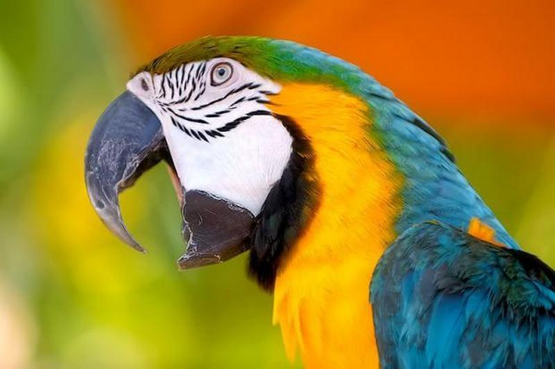 Вот где надо искать кадры: попугаи способны отказаться от быстрой малой выгоды ради будущего