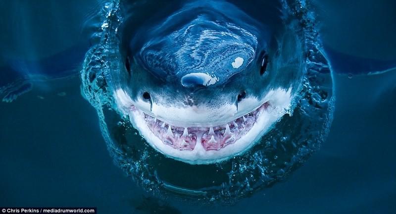 Улыбка, которая говорит: «Я б тебя съел». Фотограф-экстремал сделал портреты белых акул