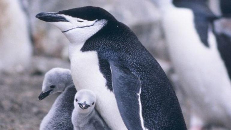 Пингвины в опасности из-за проснувшегося вулкана: лава заливает территорию их обитания