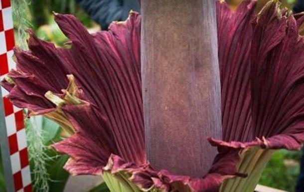 В Бельгии расцвел самый вонючий и самый большой в мире цветок
