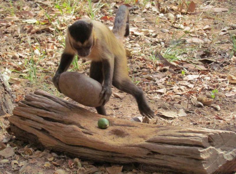 Археологи обнаружили древние каменные орудия южноамериканских обезьян