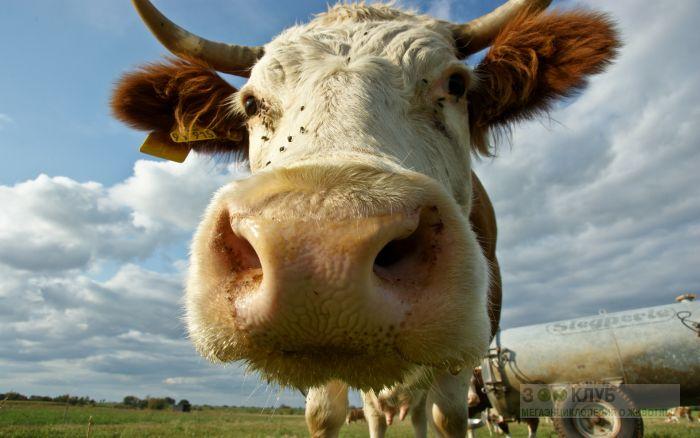 В Британии запустили Tinder для коров