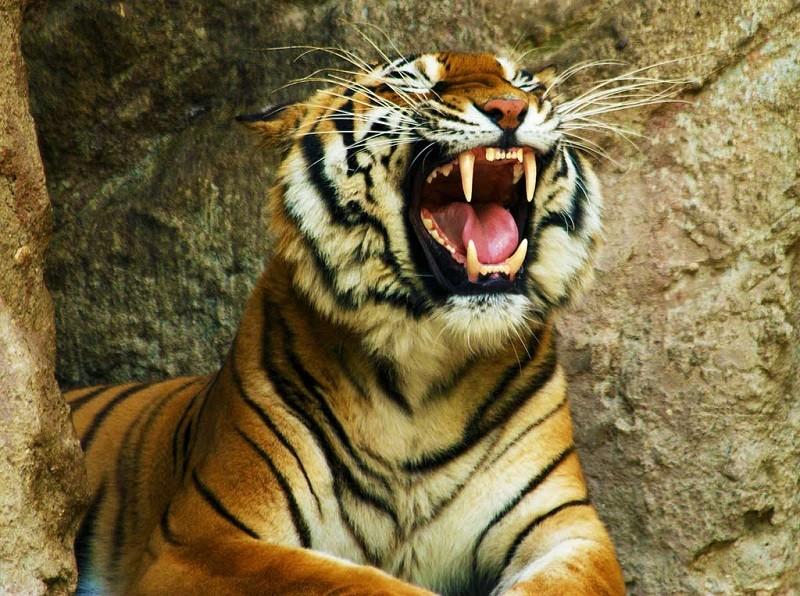 В Индии убит тигр-людоед. Его ловили с помощью коз и духов Obsession
