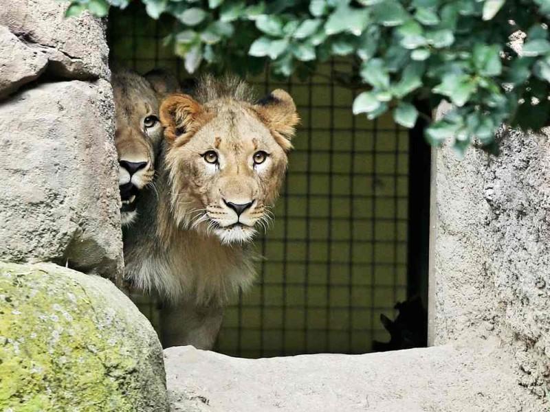 В Лейпциге из зоопарка сбежали два льва. Одного застрелила полиция