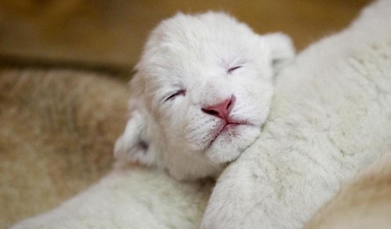 В Венгрии львица родила на глазах у посетителей зоопарка