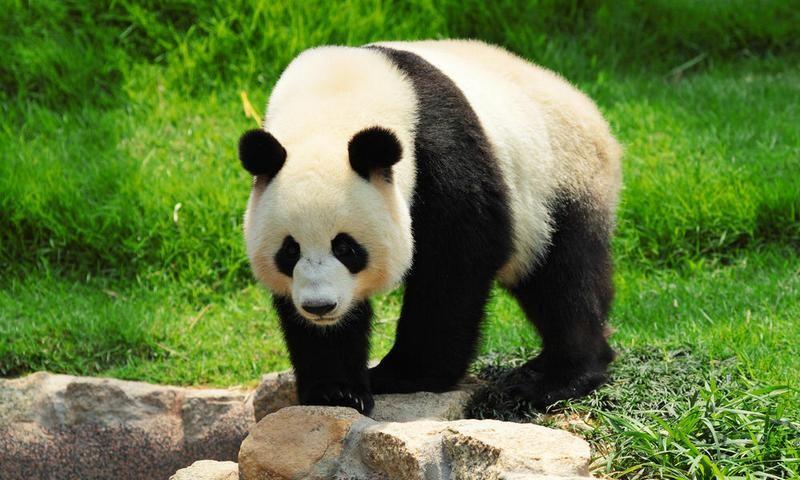 В Китае панда застряла в плотине гидроэлектростанции. Спасатели провели спецоперацию