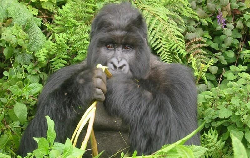 Крупнейшие в мире гориллы – на грани исчезновения из-за нелегальной охоты