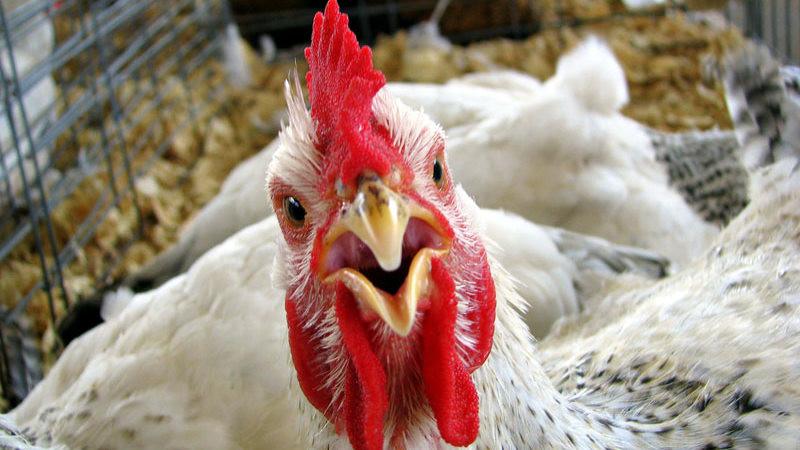 В Херсонской области зафиксирован случай птичьего гриппа