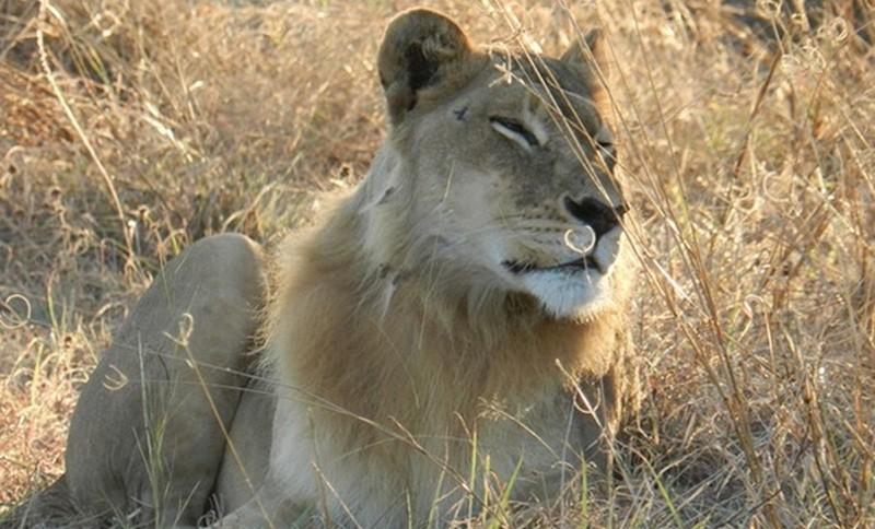 Профессиональный риск: в Африке львы съели браконьера. Осталась голова и ружье