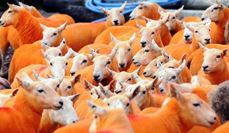 Британские фермеры  красят овец в оранжевый цвет – от отчаяния