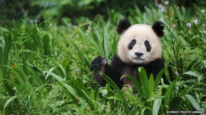 Звериная школа. В Китае детенышей панд готовят к жизни на воле (ВИДЕО)