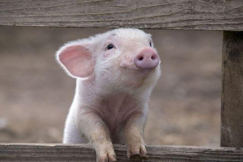 Свинья шотландская – это теперь комплимент. Там выводят устойчивых к африканской чуме поросят